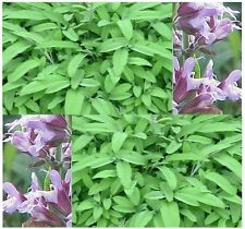 PEPPERY GARDEN SAGE HERB Seed - Salvia officinalis SEEDS ~ Perennial Zones 4 - 8