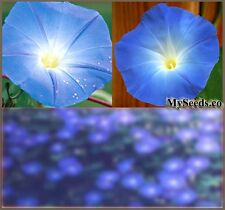 HEAVENLY BLUE Morning Glory Flower Seeds ~ Showy Extended BIG BLOOMS  Zones 1-10