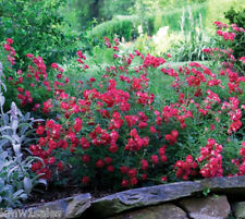 """Red Drift® Groundcover Rose Plant ( 1.5 gallon pots ) 8-12"""" Spread"""
