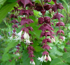 HIMALAYAN HONEYSUCKLE * Leycesteria formosa * SHOWY LONG BLOOMING SHRUB * SEED