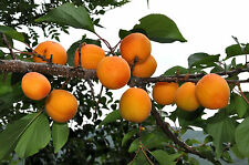 Apricot, Prunus armeniaca, Tree Seeds (Fast, Edible, Showy, Hardy)