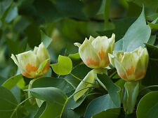 Tulip Tree, Liriodendron tulipifera, Tree Seeds (Fast, Showy Fall Color)