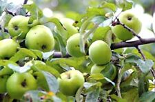 Antonovka Apple, Malus Domestica Antonovka, Tree Seeds (Edible, Hardy)