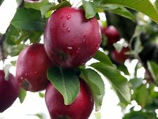 Red Delicious Apple, Malus pumila Red Delicious, Tree Seeds (Edible, Fast, Hardy