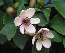 Banana Shrub, Michelia Figo (Magnolia figo), Shrub Seeds (Showy Fragrant Flowers
