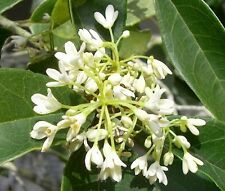 Fragrant Tea Olive ( osmanthus fragrans ) - Live Plant - Trade Gallon Pot