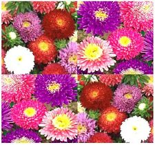 POWDERPUFF MIX Aster Seed - China Aster Flower Seeds - Callistephus chinensis