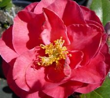 Lady Laura Pink Camellia Japonica - Live Plant - Full Gallon Pot