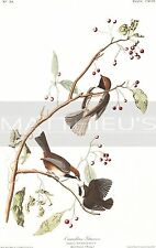 Audubon-Canadian Titmouse, Paper Print, Birds Of America 194, Chickadee