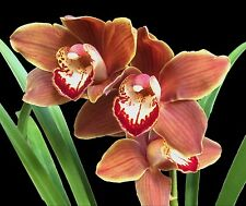 Cymbidium__GREAT BALLS of FIRE__new hybrid FRAGRANT flowers seed-grown orchid