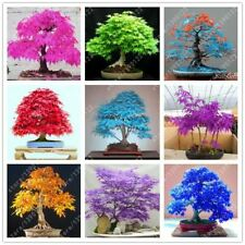 20pcs/bag japanese maple seed fire maple bonsai flower tree seeds potted plant 9