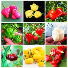 100Pcs/Bag Brazilian Chili Hot Pepper Ubatuba Cambuci Capsicum Baccatum Organic