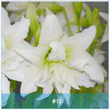 Amaryllis Bulbs, Barbados Lily, Root Hippeastrum Bulb, Light Pink Flower, Hot