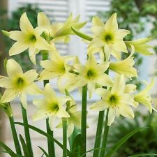 Amaryllis Bulbs, Barbados Lily, Root Hippeastrum Bulb,Light Green Flower,Special