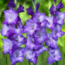 Gladiolus Bulbs, Not Gladiolus Seeds, Flower Symbolizes Longevity, Color #1