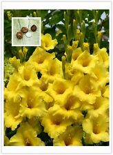 Gladiolus Bulbs, Not Gladiolus Seeds, Flower Symbolizes Longevity, Yellow Color