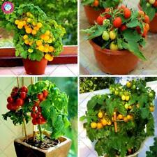 200pcs Bonsai Yellow Tomato seeds Indoor Plants Potted Balcony Fruit Vegetables
