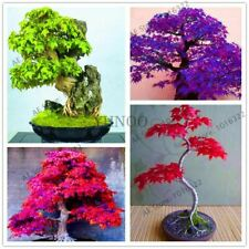 51 pcs Maple tree bonsai blue tree Japanese seeds plants for home garden and Bal