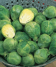 Catskill Brussel Sprouts seeds _ GREAT TASTING!!!! - SO GOOD!!! FREE SHIPPING!!!