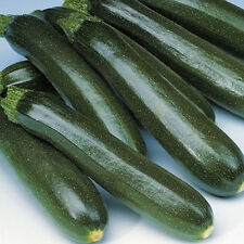 Dark Green Zucchini Squash - Very Prolific and TASTY!!!!  FREE SHIPPING!!!!