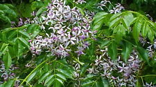 "Chinaberry Tree Seeds (Fast Growing ""Umbrella"" Shaped Tree--FREE SHIPPING!!!!!!"