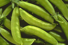 'Sugar Lace II'  Garden Pea Seeds - SWEET & CRUNCHY!!! GOOD!!!! FREE SHIPPING!!!