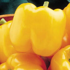 EARLY SUNSATION Bell Pepper  - A Bright Yellow Tasty Bell Pepper--FREE SHIPPING!