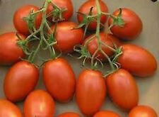 Grappoli Corbarino Grape Tomato - Tomato of old Italy - Free Shipping!!!