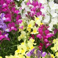 Spurred Snapdragon - Fairy Bouquet - Vigorous and colorful!! Truly spectacular!!