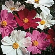 Cosmos Seeds 'Sensation Mixed'-Masses of daisy-like flowers-Long lasting flowers