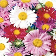 Single Mixed China Aster-Pink, purple,red and white - fast-growing!! Beauties!!