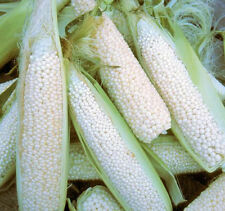 Country Gentleman Shoepeg Corn-regarded by oldtimers as the finest roasting corn