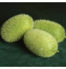 Wooly Bear Gourd Seeds-VERY rare in North America!  Small elongated fruit!!!