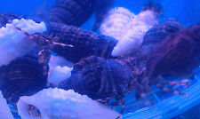 SPECIAL ** 25 X WHITE OR BLACK SHELL ALGAE HERMIT CRABS 10-20MM ,CLEAN UP CREW !
