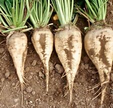 Beets - Sugar Beet, Sweet White Beet (Beta vulgaris) Vegetable Garden Seeds