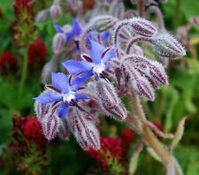 Borage Seeds - A refreshing, mild cucumber-like fragrance!! A Very Pretty Plant!