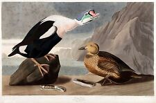 Quality POSTER on Paper or Canvas.Wall Art Decoration.Biology.Ducks.4821