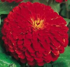 Zinnia 'Cherry Queen' -Big bright bold red with large blooms, 4 - 5 inches!!!!!