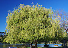 12+ Corkscrew Weeping Willow Tree Cuttings  Fast Growing Shade Screen