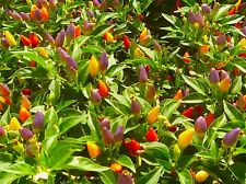 Numex Twilight Pepper Seeds - A Stunningly GREAT Showpiece !! Very Colorful!!!