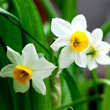 100pcs Daffodil Narcissus Flower Bonsai Seeds Garden Balcony Decor Plants Seeds