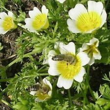 Poached Egg Plant Seeds (Limnanthes Douglasii) 50+Seeds