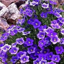 Cup Flower Purple Robe Ground Cover Seeds (Nierembergia Hippomanica) 200+Seeds