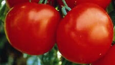 Marglobe Tomato (Heirloom--Old Time Favorite) Great Tomato - FREE SHIPPING!!!