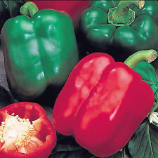 Bell Boy Bell Pepper.. Terrific Yields!!!  Beautiful Colors - FREE SHIPPING!!!!
