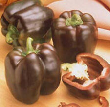 Chocolate Beauty Bell Pepper - A BEAUTY!  SWEET COLORFUL FLESH!! FREE SHIPPING!!