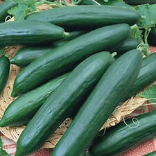 Burpless Cucumbers-Sweet & Crunchy!! Heavy Yields!!! GOOD!!! Free Shipping!!!!!!