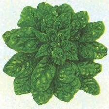 Bloomsdale Long Standing Spinach - Very Prolific!!!  Healthy!!! Free Shipping!!