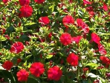 Red Four O' Clock - Old garden favorite -Colorful, fragrant, and robust!! WOW!!