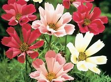 Cosmos 'Sea Shells' Seeds - Pastel shades of pink, rose, carmine and white! WOW!